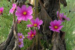 Blüten vor verwelkten Sonnenblumen